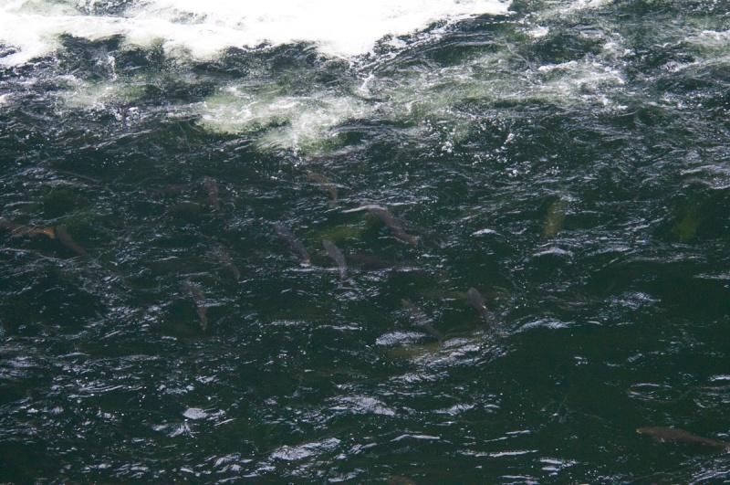 hostfiske-i-gaula-4
