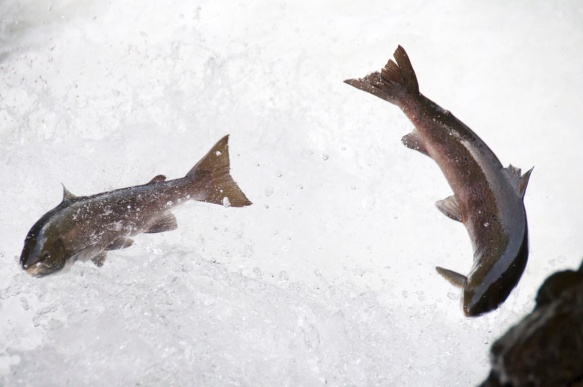 hostfiske-i-gaula-8